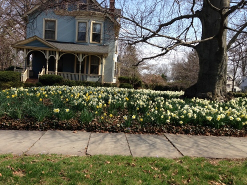lawn of daffs