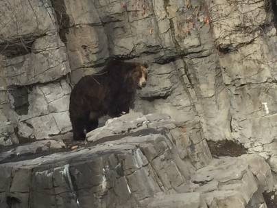 Veronica, the newly relocated grizzly