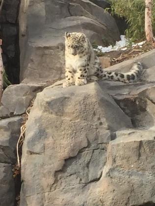 6 month old snow leopard cub