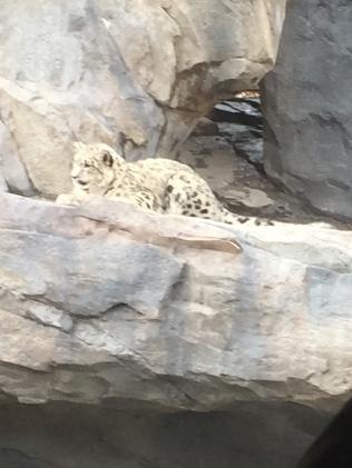 mama snow leopard