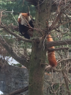 red panda, which is actually in the raccoon family